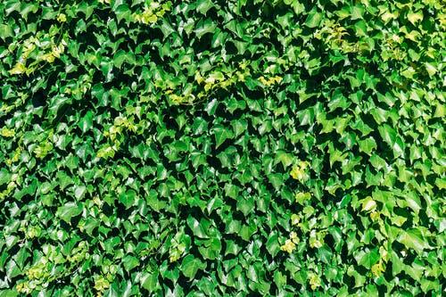 Lebensbaum Smaragd